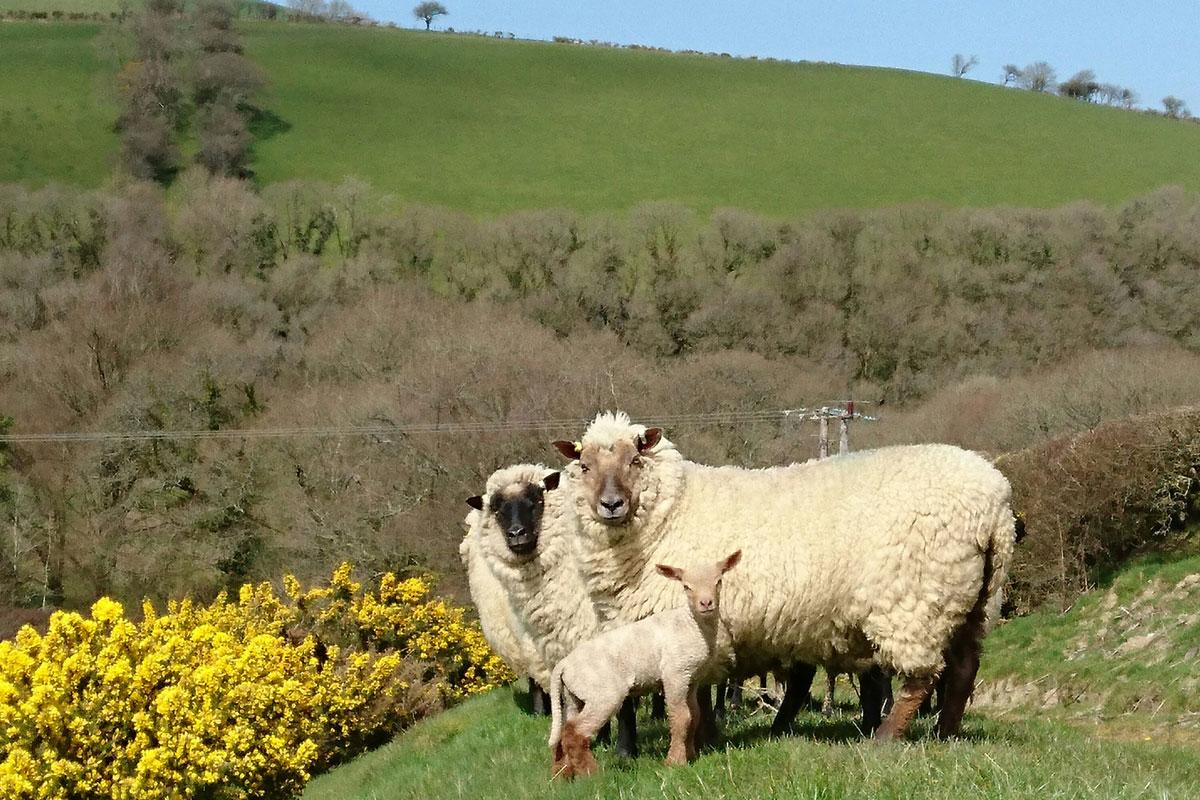 Treberfedd sheep