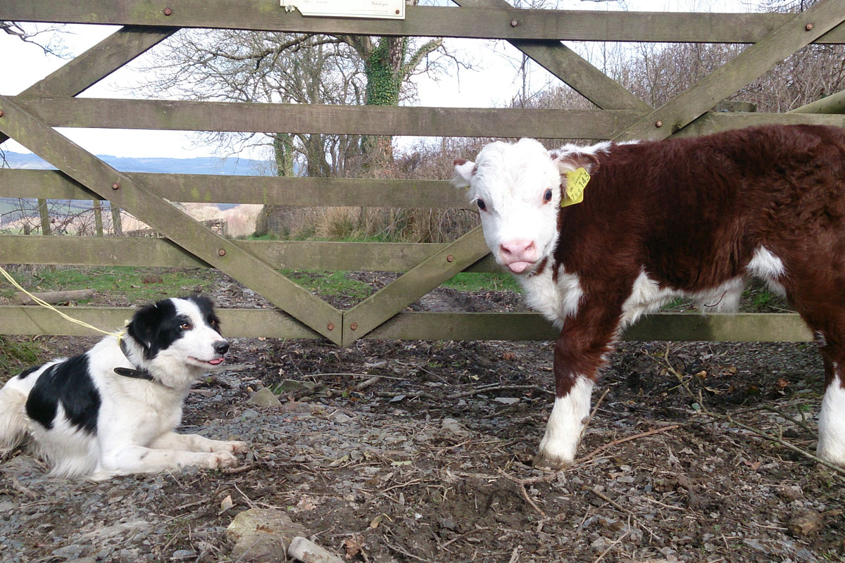 dog and calf