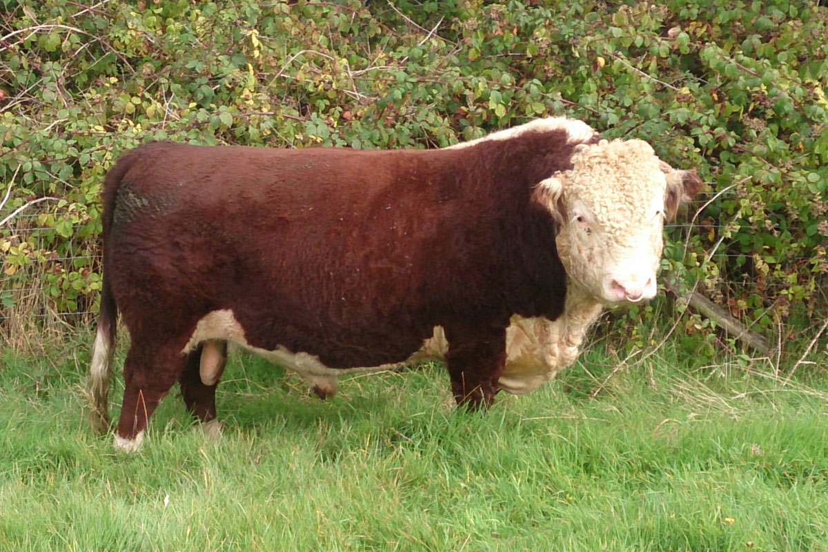Traditional Hereford Bull