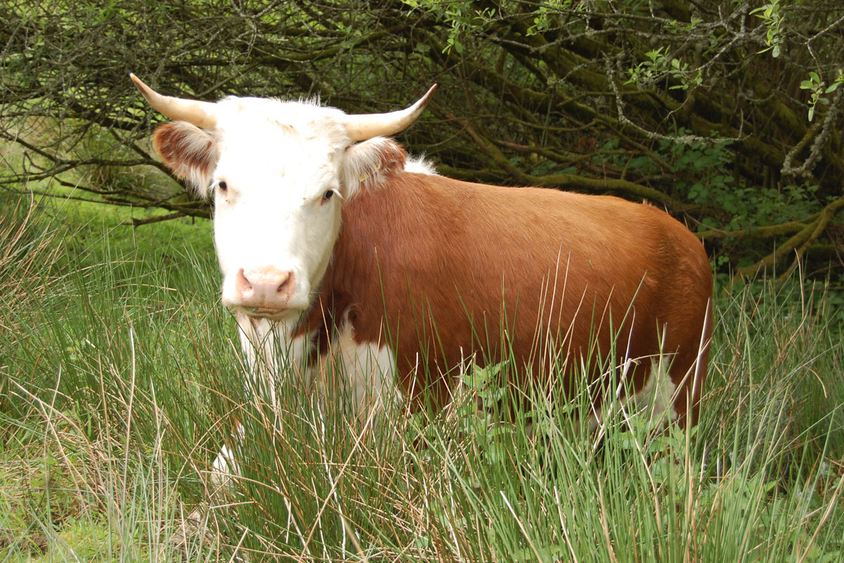 Traditional Hereford