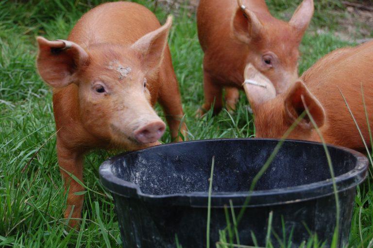 treberfedd farm organic pigs